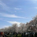 ROSS Companies volunteers at Cherry Blossom Festival
